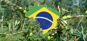 brasilaceitunasprincipal